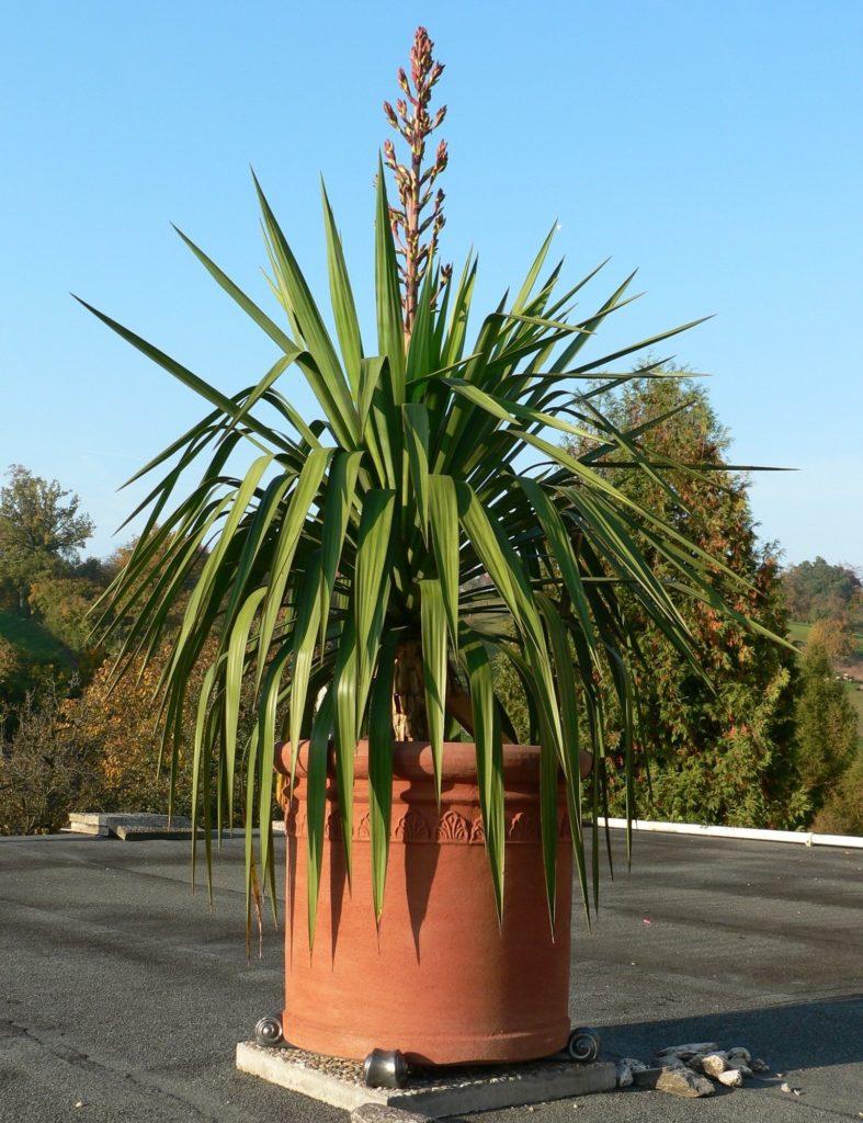 Юкка славная yucca gloriosa фото