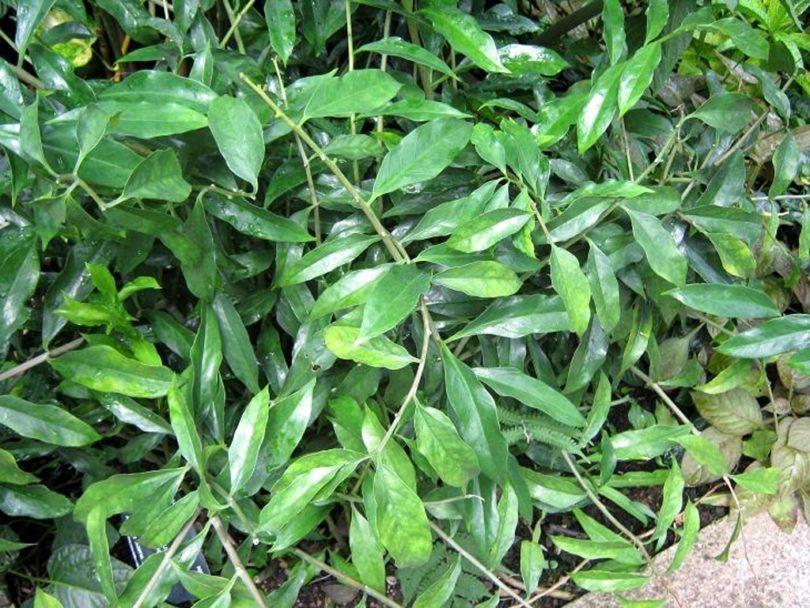 Замиокулькас ланцетовидный (Zamioculcas Lanceolata) фото
