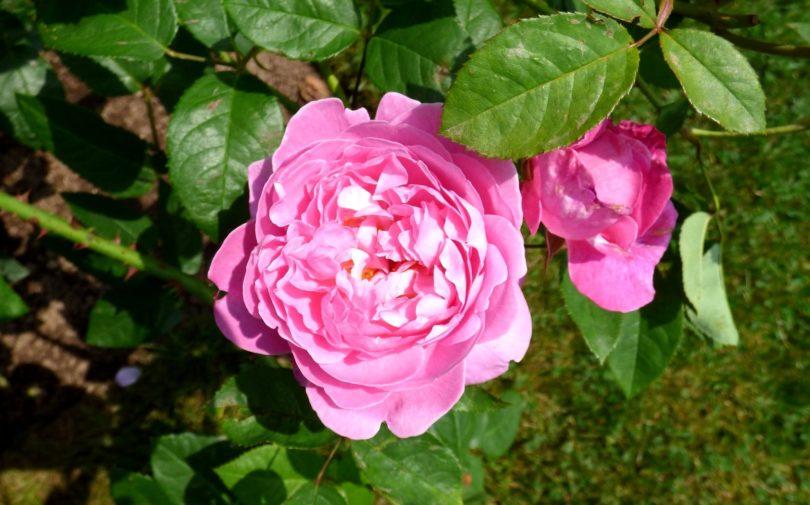 Бенгальская роза фото