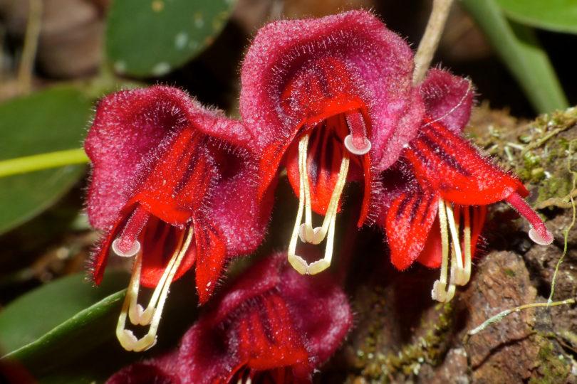 Эсхинантус трехцветный (Aeschynanthus Tricolor) фото