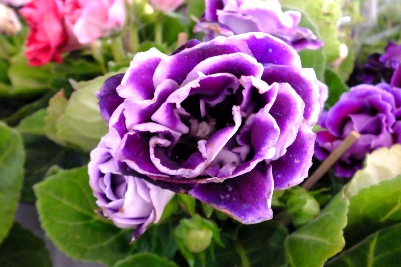 Фиолетовая глоксиния фото