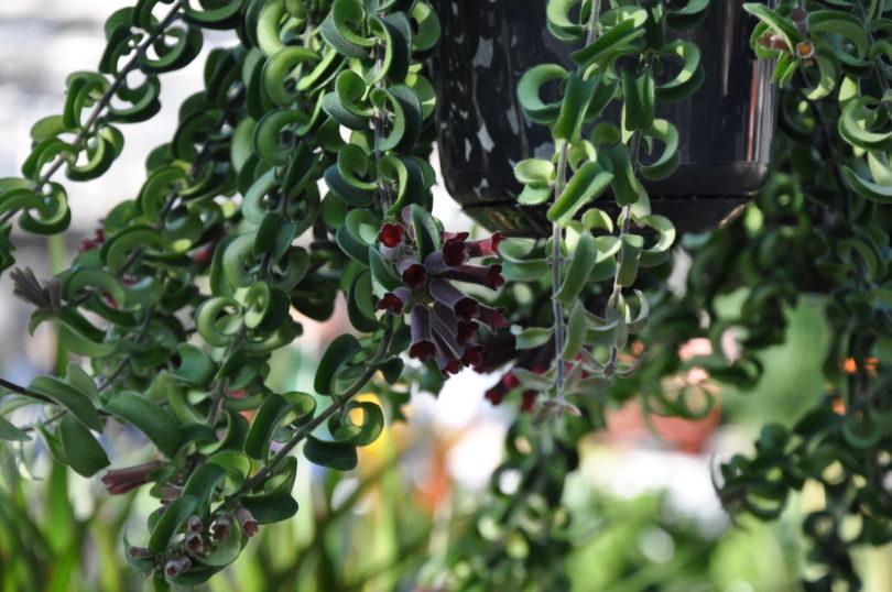 Эсхинантус Твистер (Aeschynanthus Twister) фото