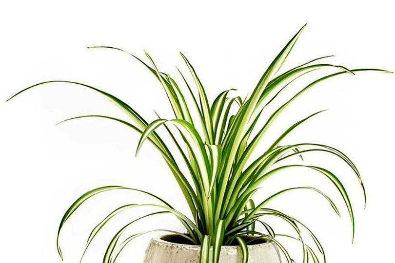 Хлорофитум Виттатум (Chlorophytum comosum vittatum) фото