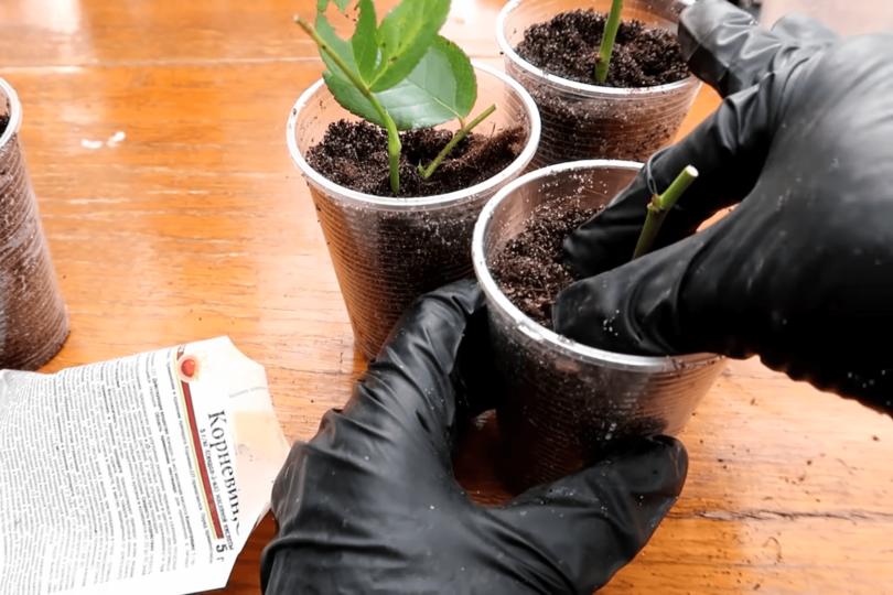Размножение комнатной розы в почве фото