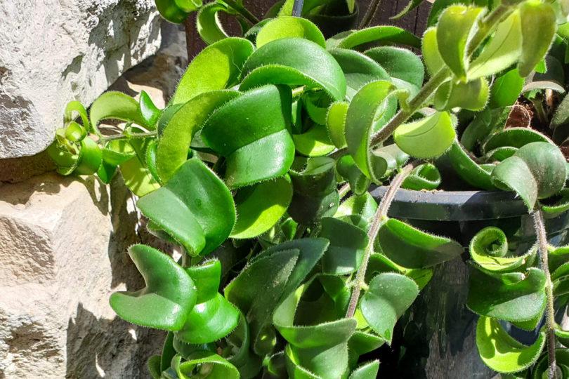 Эсхинантус Раста (Aeschynanthus Rasta) фото