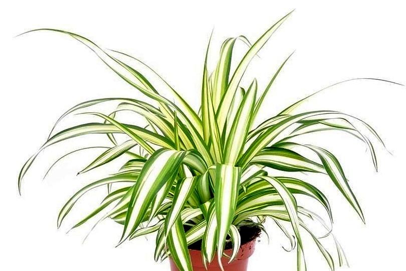 Хлорофитум Мандаианум (Chlorophytum comosum Mandaaianum) фото