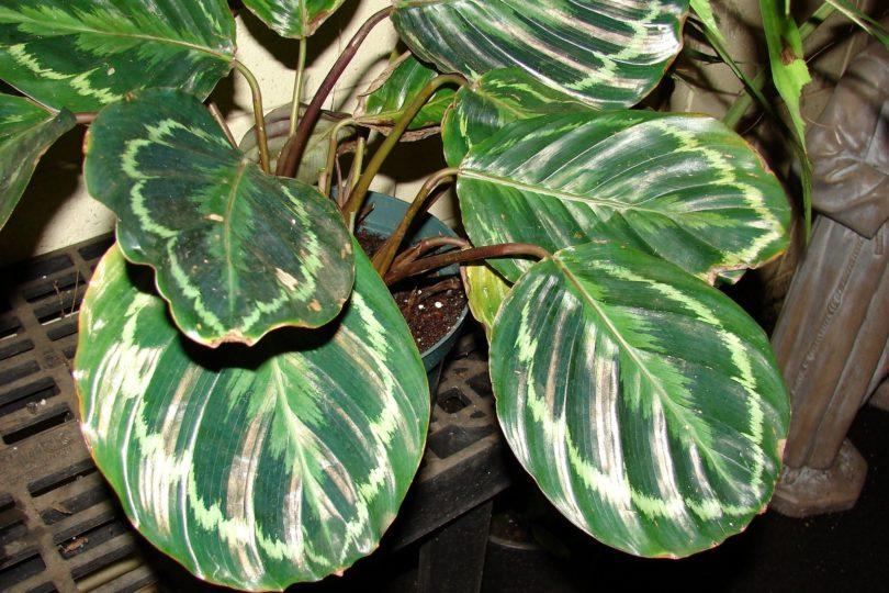 Калатея розеопикта медальон (Calathea roseopicta medallion) фото