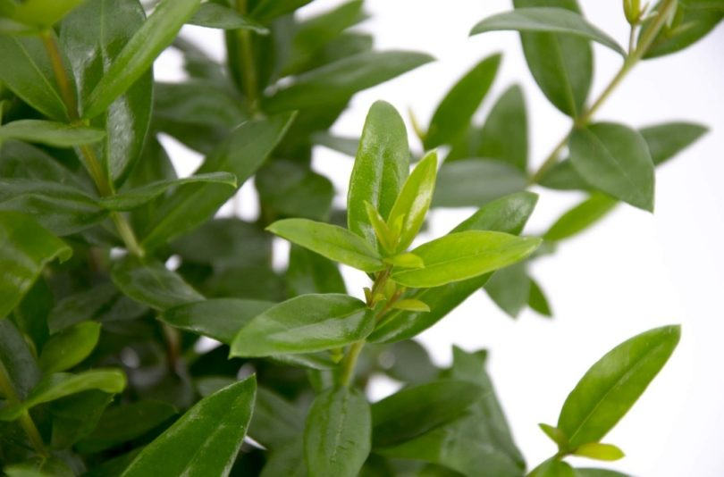 Крупнолистный мирт (Macrophylla) фото