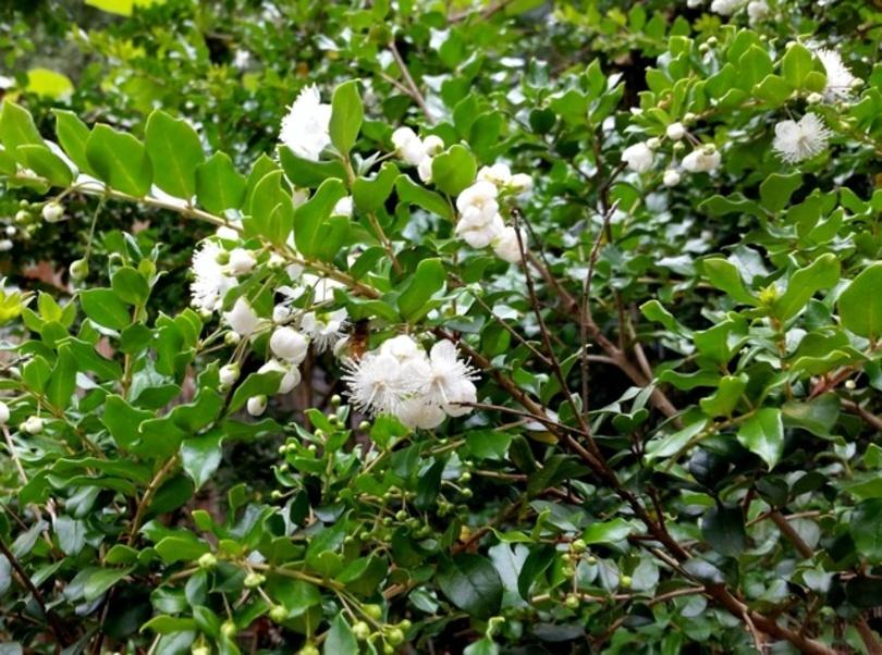 Чилийский мирт (Luma apiculata) фото