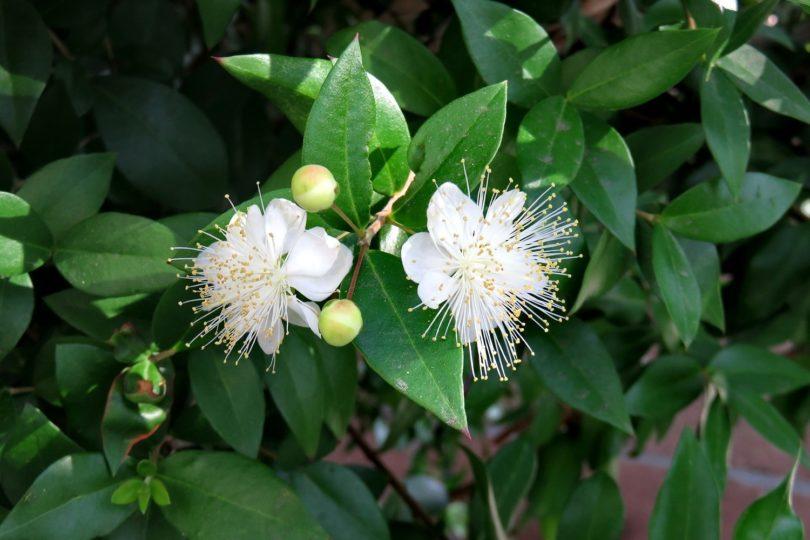 Мирт обыкновенный (Myrtus communis) фото