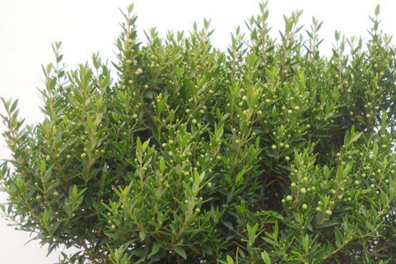 Мелколистный мирт (Mycrophylla) фото