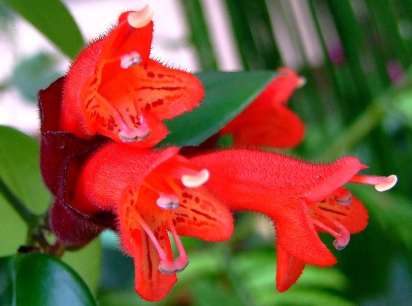 Эсхинантус Лобба (Aeschynanthus lobbianus) фото