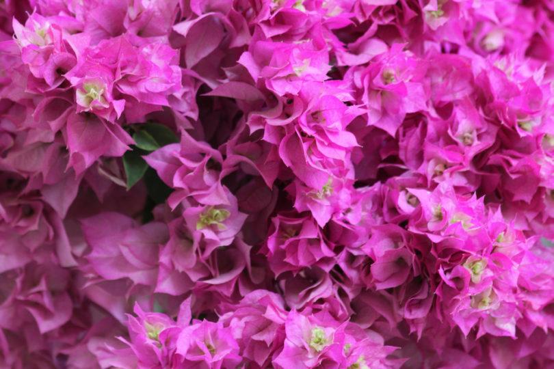 Бугенвиллия Дабл Пинк (Bougainvillea Double Pink) фото