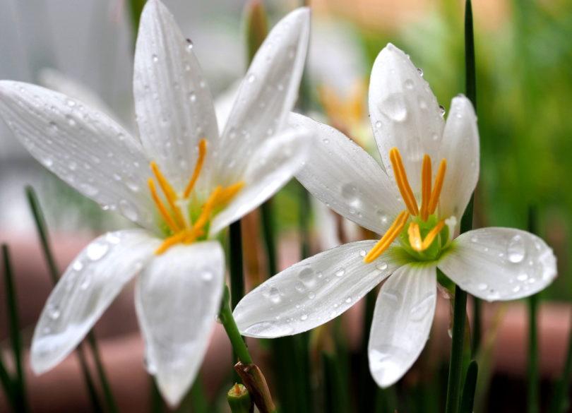 Зефирантес белый (Zephyranthes candida) фото