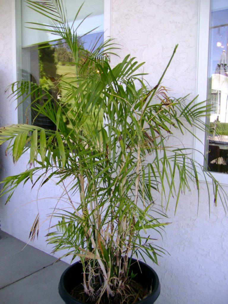 Хамедорея Зейфрица (Chamaedorea Seifrizii) фото
