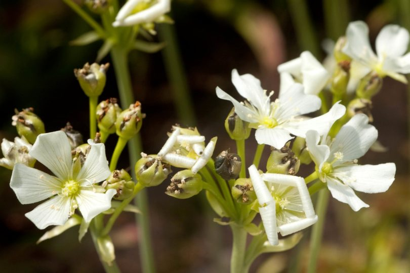 Цветение венериной мухоловки фото