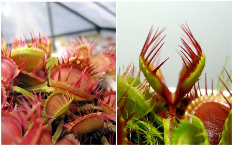 Венерина мухоловка Длинные красные пальцы (dionaea long red fingers) фото