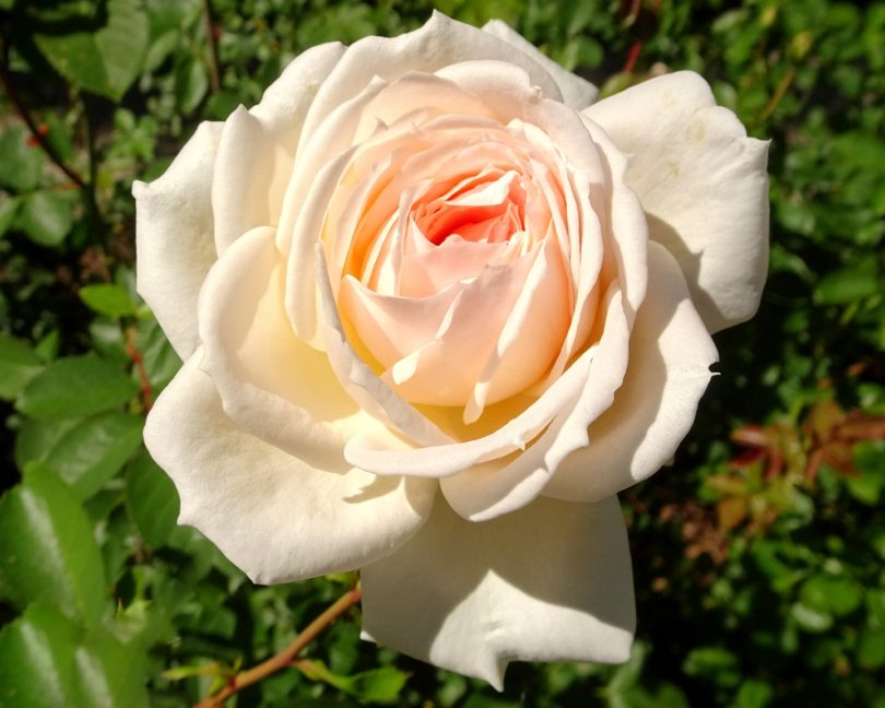 Роза элеонор фото