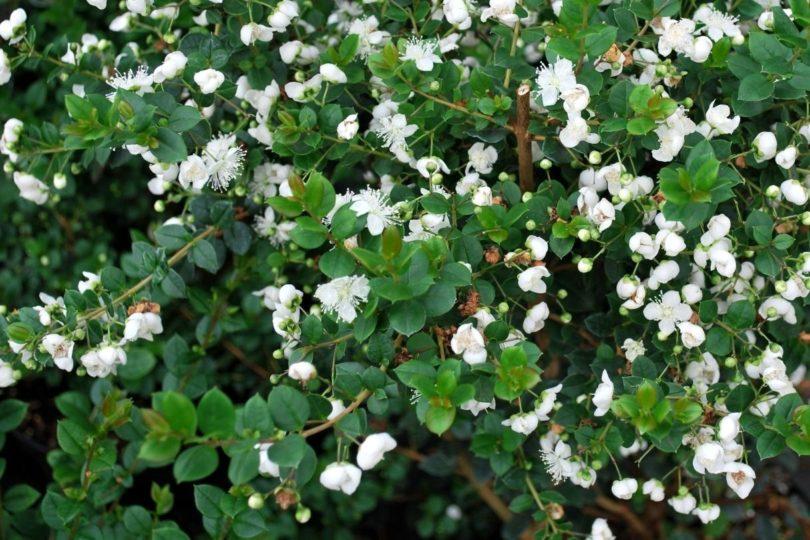 Мирт пышный (Apiculata) фото