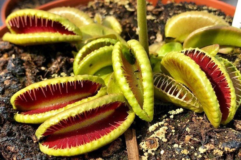Венерина мухоловка сорт Пасть (dionaea jaws) фото