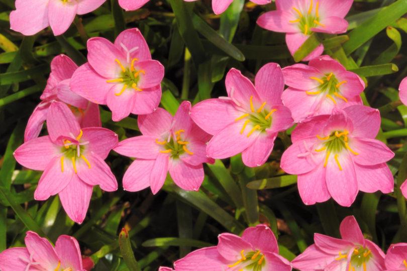 Зефирантес розовый фото