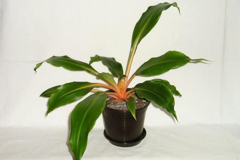 Хлорофитум оранжевый, орхидозвездный (Chlorophytum orchidastrum) фото