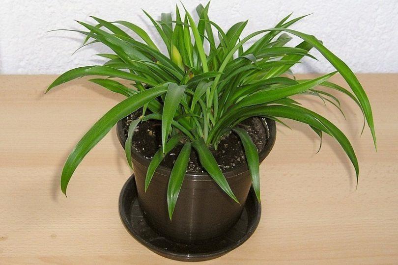 Хлорофитум Капский (Chlorophytum capense) фото