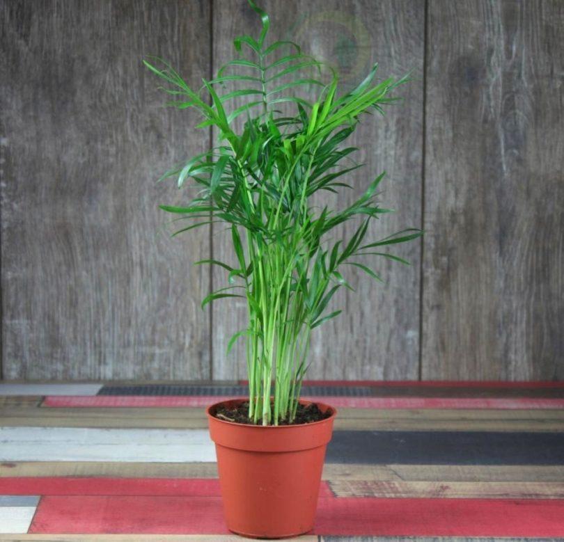 Хамедорея одноцветная (Chamaedorea Concolor) фото