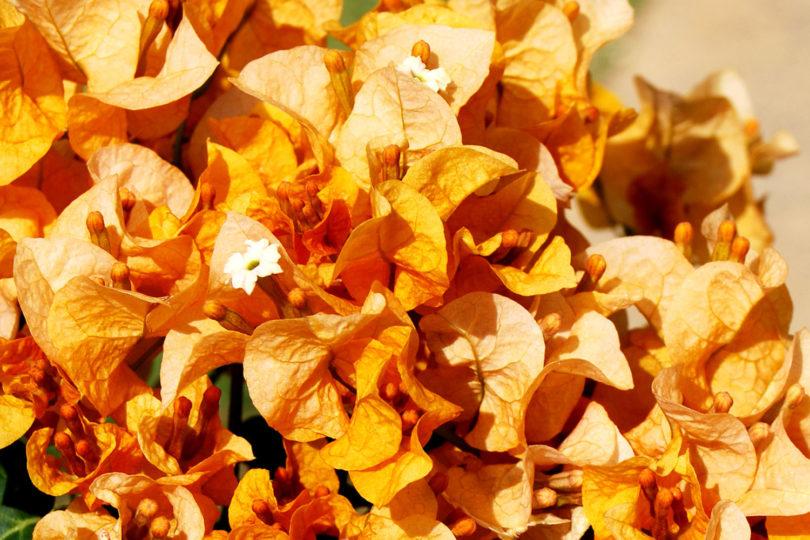 Бугенвиллия Голд (Bougainvillea Gold) фото