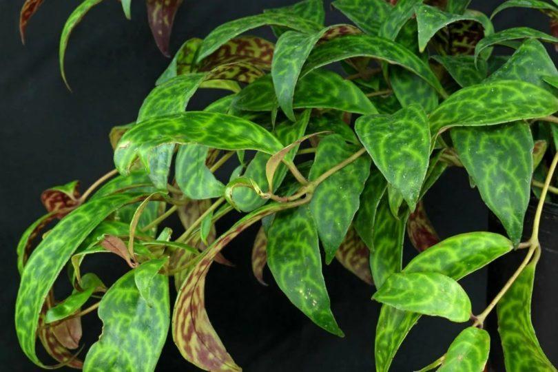 Эсхинантус мраморный (Aeschynanthus marmoratus) фото