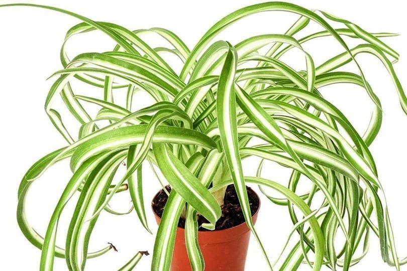 Хлорофитум хохлатый (Chlorophytum comosum) фото