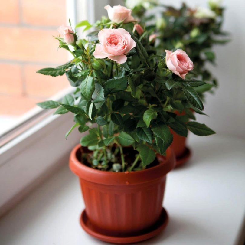 Уход за комнатной розой в домашних условиях фото