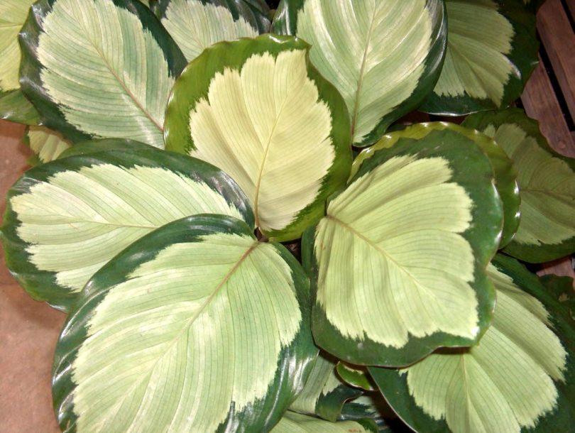 Калатея раскрашенная (Calathea picturata) фото