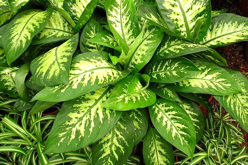 Диффенбахия великолепная (Dieffenbachia magnifica) фото