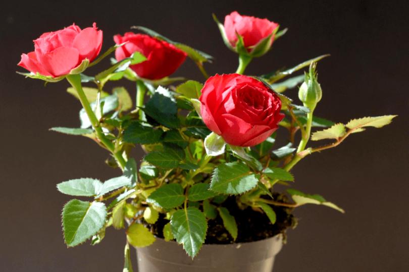 Комнатная роза уход в домашних условиях фото