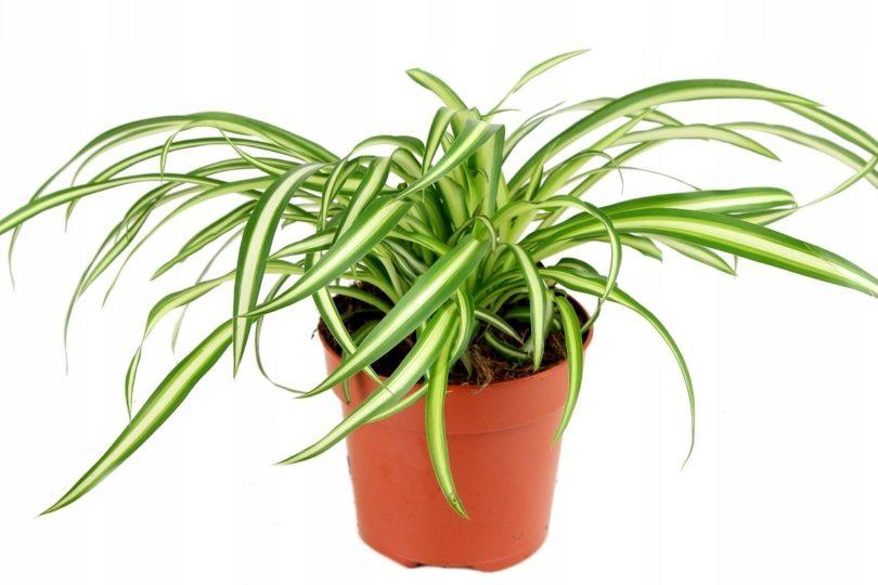 Хлорофитум Атлантик (Chlorophytum comosum Atlantic) фото