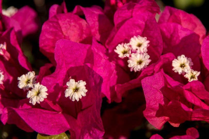 Бугенвиллия (bougainvillea ) - выращивание и уход в домашних условиях фото