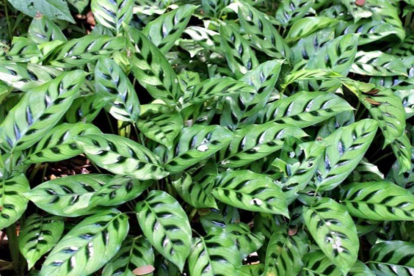 Калатея леопардовая (Calathea leopardina) фото