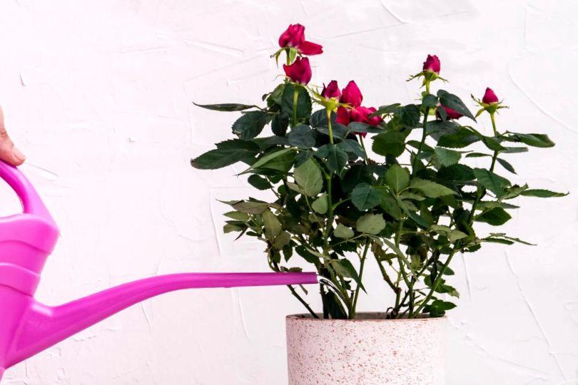 Как поливать комнатную розу фото