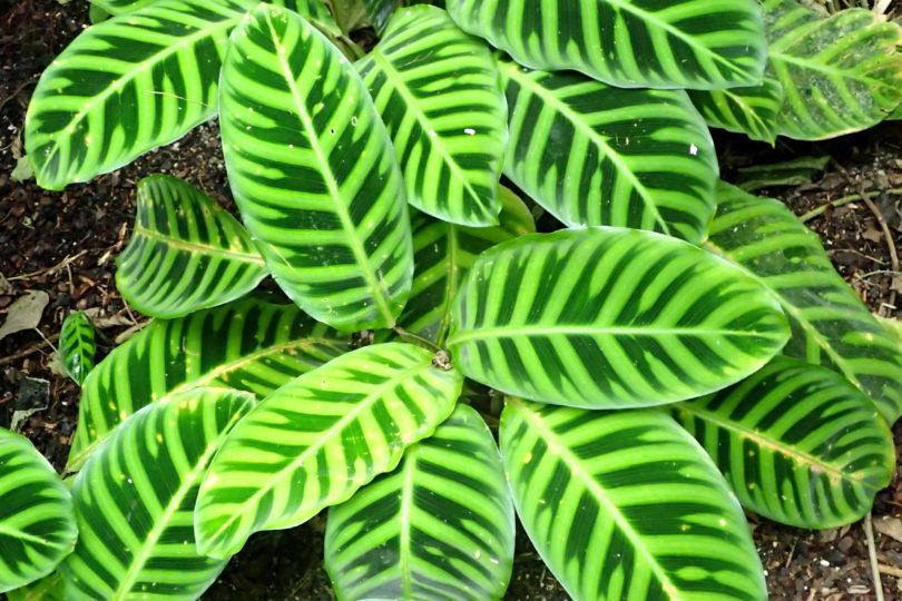Калатея Зебрина (Calathea Zebrina) фото