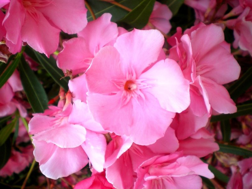 Олеандр розовый фото