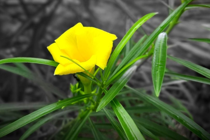 Олеандр желтый фото