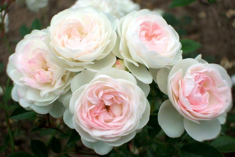 Домашняя роза пикси фото