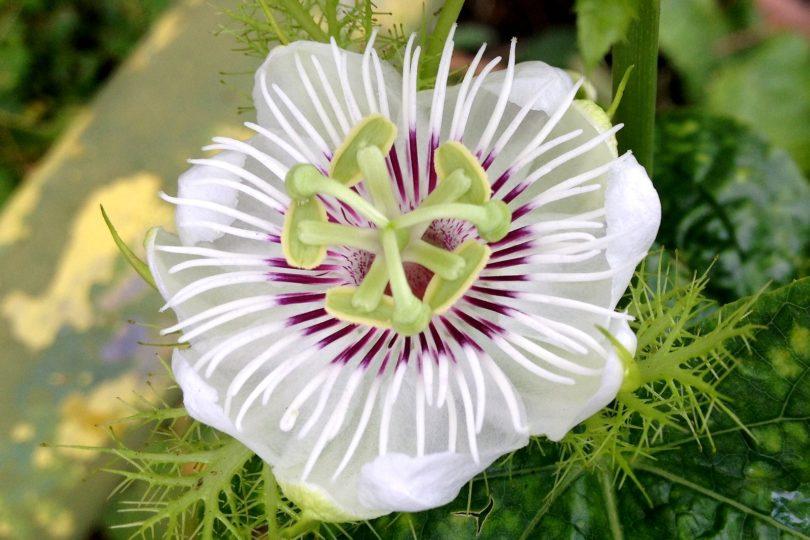 Пассифлора изменчивая Фоэтида (Passiflora Foetida) фото