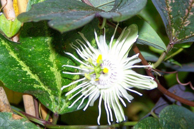 Пассифлора трехполосная (Passiflora trifasciata) фото