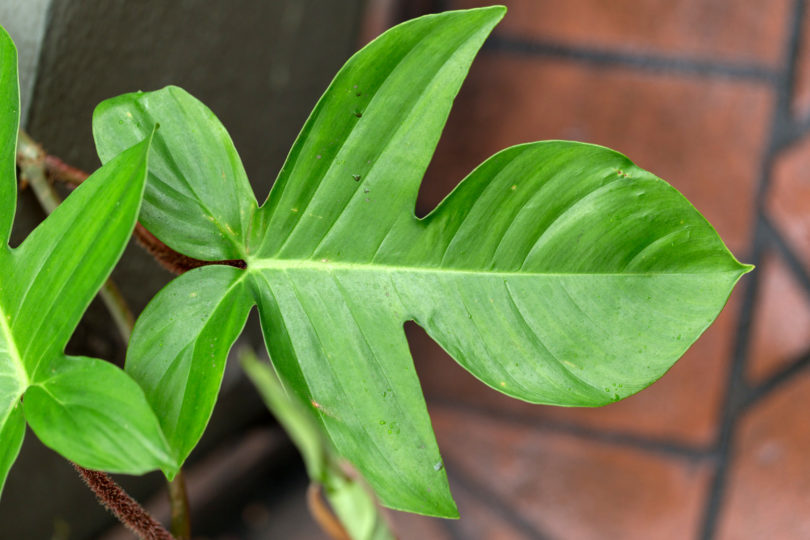 Филодендрон чешуеносный (Philodendron squamiferum) фото