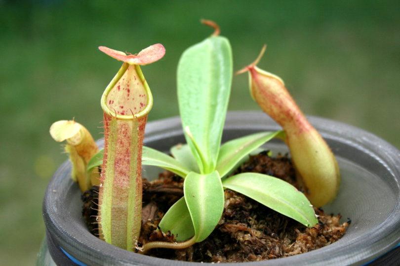 Непентес Сангвиния (Nepenthes Sanguinea) фото
