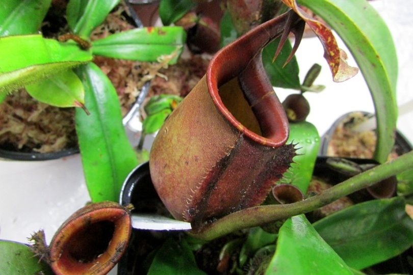 Непентес Двушпорный (Nepenthes Bicalcarata) фото