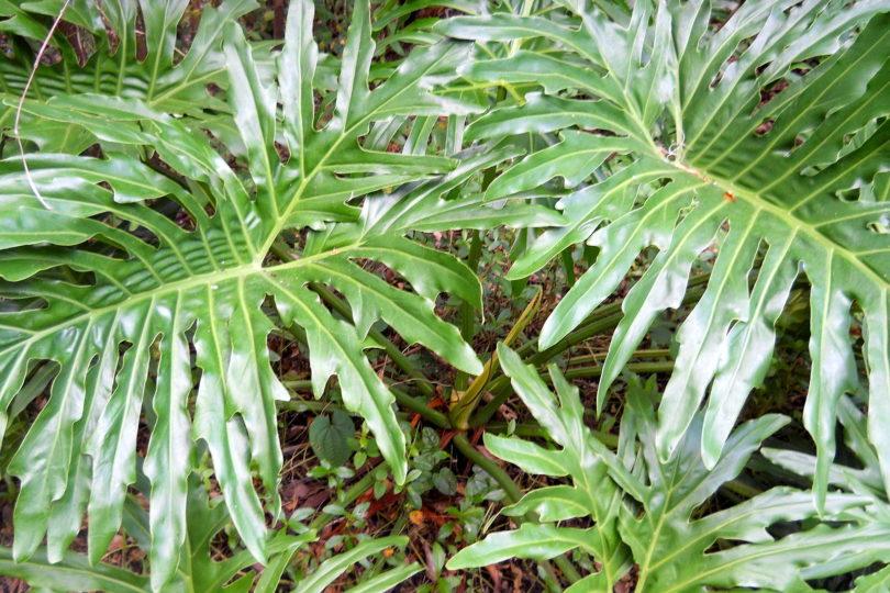 Филодендрон селло (Philodendron selloum) фото