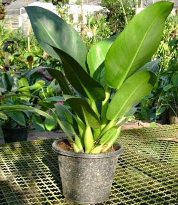 Филодендрон мартиуса (Philodendron martianum) фото